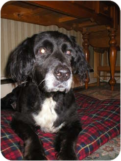 Spaniel (Unknown Type) Mix Dog for adoption in Long Beach, New York - Buddy