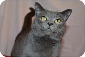 Domestic Shorthair Cat for adoption in Bedford, Virginia - Sophia