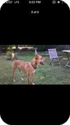 Rhodesian Ridgeback/Belgian Malinois Mix Dog for adoption in Marlton, New Jersey - Bo - 90 lbs.