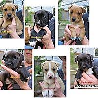 Adopt A Pet :: Sweetie's Girl Puppies - Gig Harbor, WA
