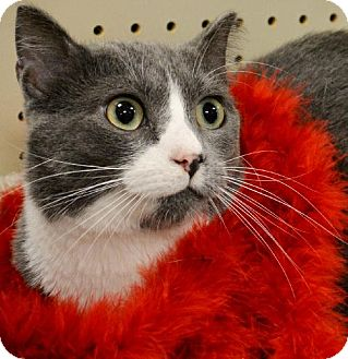 Domestic Shorthair Cat for adoption in Horn Lake, Mississippi - Bugsy