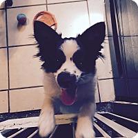 Adopt A Pet :: Steve - Mount Gretna, PA