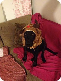 Great Dane/Labrador Retriever Mix Dog for adoption in Baden, Pennsylvania - Rufus