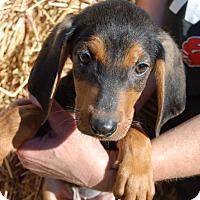 Adopt A Pet :: Dopey - Derry, NH