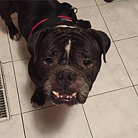 English Bulldog Dog for adoption in Decatur, Illinois - Rocko