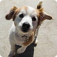 Adopt A Pet :: Terry - Gilbert, AZ