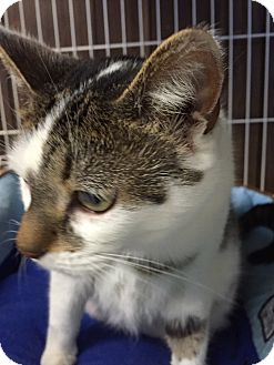 American Shorthair Cat for adoption in Hamburg, New York - Lori