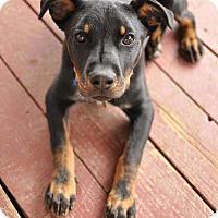Adopt A Pet :: Santos - Westminster, CO
