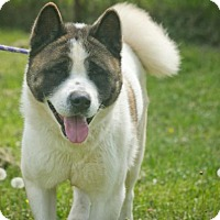 Akita Dog for adoption in Toms River, New Jersey - Chilly