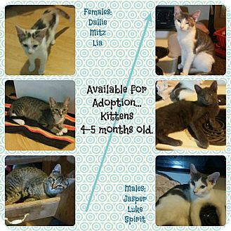 Domestic Shorthair Kitten for adoption in Okmulgee, Oklahoma - Kittens