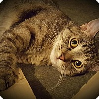 Domestic Shorthair Kitten for adoption in Charlotte, Michigan - Chanel