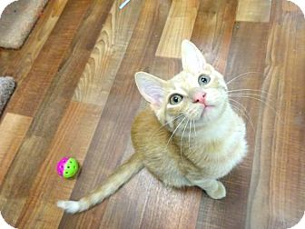 Domestic Shorthair Cat for adoption in Woodland Hills, California - Mitch