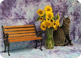 Domestic Shorthair Cat for adoption in Stockton, California - Voodoo