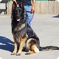 German Shepherd Dog Dog for adoption in Lathrop, California - Shiloh