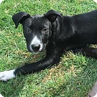 Adopt A Pet :: Junebug - St Louis, MO