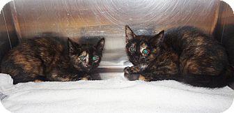 Domestic Mediumhair Kitten for adoption in Marietta, Georgia - GEMMA & GINGER - available 10/