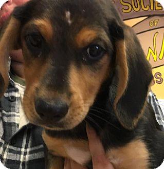 Hound (Unknown Type) Mix Puppy for adoption in Walden, New York - Tazi