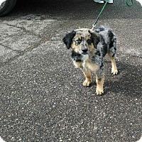 Australian Shepherd Puppy for adoption in E. Wentachee, Washington - Bleu