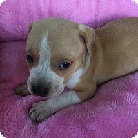 Adopt A Pet :: Gia (Addys litter) - Wenonah, NJ