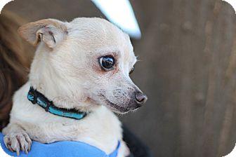 Chihuahua Mix Dog for adoption in Goleta, California - Atlas