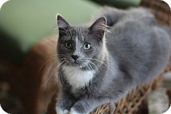 Domestic Longhair Kitten for adoption in Richmond, Virginia - Bounce