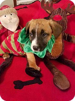 German Shepherd Dog/Retriever (Unknown Type) Mix Puppy for adoption in Detroit, Michigan - Fisbee