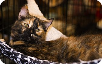 Domestic Longhair Kitten for adoption in Mooresville, North Carolina - A..  Felicity