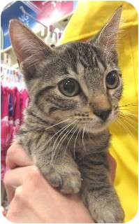 Domestic Shorthair Kitten for adoption in Schertz, Texas - Rose