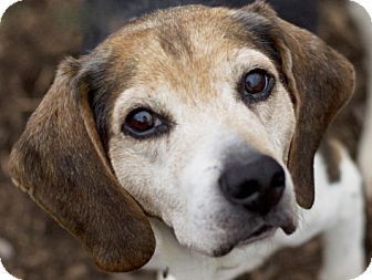 Beagle Dog for adoption in Indianapolis, Indiana - Alfie