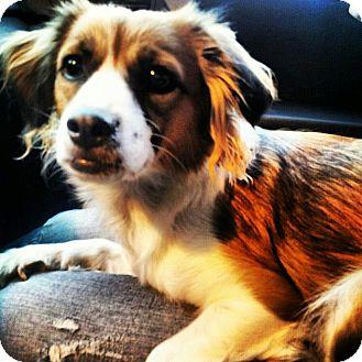 Cavalier King Charles Spaniel Mix Dog for adoption in Scottsdale, Arizona - China