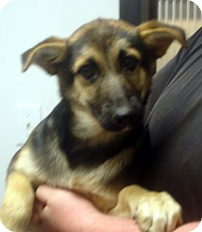 German Shepherd Dog Puppy for adoption in baltimore, Maryland - sasha