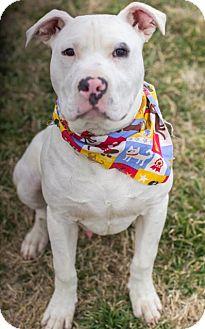 American Bulldog/Dogo Argentino Mix Puppy for adoption in ...