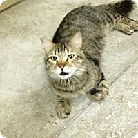 Adopt A Pet :: Simba - St. James City, FL