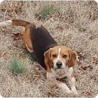 Adopt A Pet :: Beagle Boy Penny - Indianapolis, IN