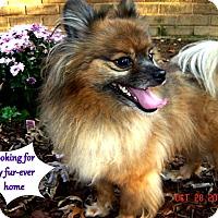 Adopt A Pet :: Barney - Franklinton, NC