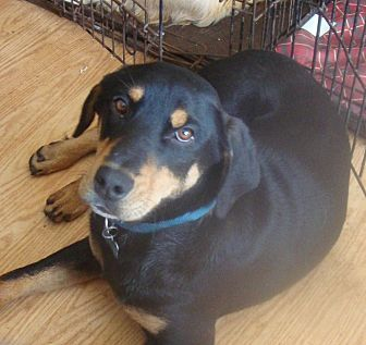 Doberman Pinscher/Coonhound Mix Dog for adoption in Columbia, Kentucky - BoBo