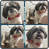 Adopt A Pet :: Shipoo - South Gate, CA