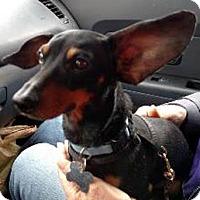 Adopt A Pet :: Ozzie - Beavercreek, OH