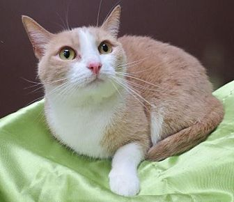 Domestic Shorthair Cat for adoption in St. Louis, Missouri - Mattie