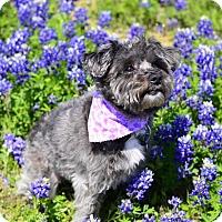 Adopt A Pet :: Coco- Guest dog - Dallas, TX