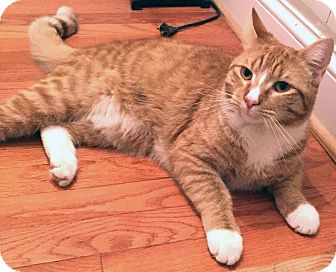 Domestic Mediumhair Cat for adoption in Fairfield, Connecticut - Jordan