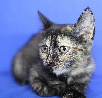 Domestic Shorthair Kitten for adoption in Winston-Salem, North Carolina - Amanda