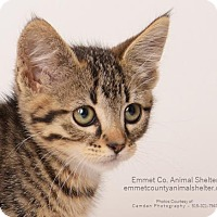 Domestic Shorthair Kitten for adoption in Estherville, Iowa - Olive