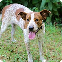 Hound (Unknown Type)/Pointer Mix Dog for adoption in Andover, Connecticut - FREDDY FRECKLES