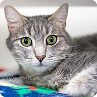 Domestic Shorthair Cat for adoption in Reisterstown, Maryland - Henry
