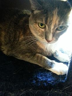 Calico Cat for adoption in Sunny Isles Beach, Florida - Star