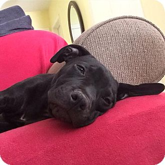 Staffordshire Bull Terrier/Labrador Retriever Mix Puppy for adoption in Santa Barbara, California - Scarlett