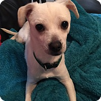 Chihuahua Mix Puppy for adoption in Hartford, Connecticut - Sammy