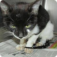 Adopt A Pet :: Cat DW01 - Rocky Mount, NC