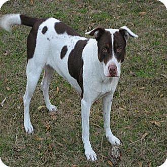 Williston, FL - German Shorthaired Pointer/Rottweiler Mix. Meet Dixie ...